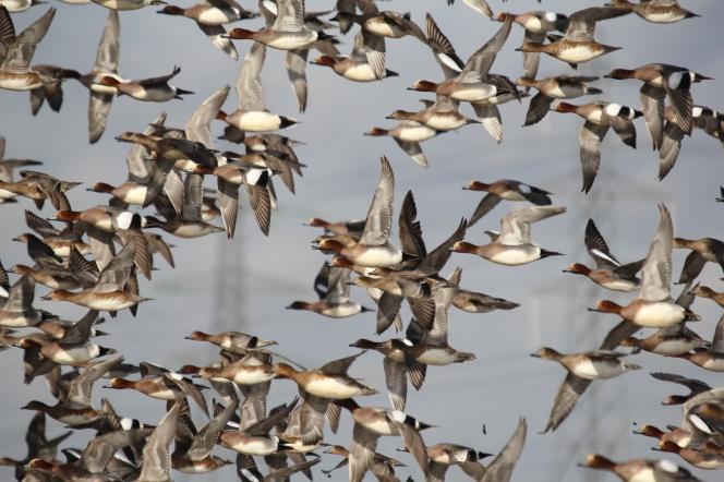 Flock of Wigeon